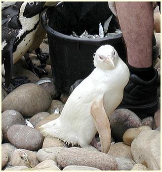 画像,中国,野生,白いパンダ,白くま,本物,原因,アルビノ