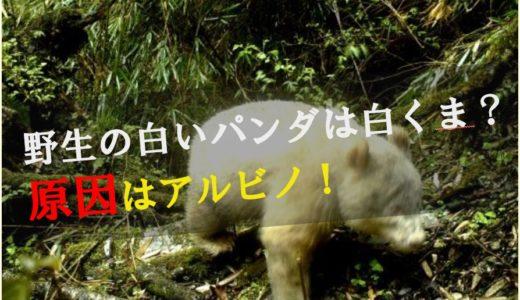 【画像】中国・野生の白いパンダは白くま?本物なの?原因はアルビノ