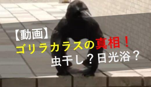 【動画】なぜ?ゴリラカラスの真相!場所はどこ?羽を使い日光浴か