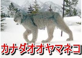 【画像】カナダオオヤマネコがかわいい!!日本で飼う方法はこちら。